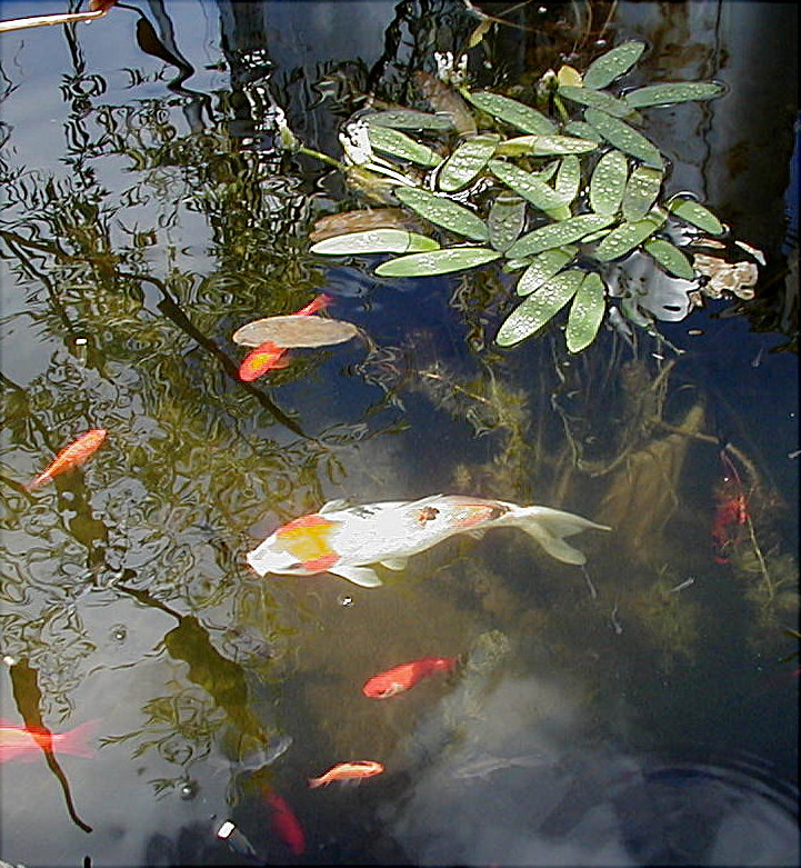Ponds for Cool koi ponds