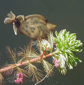 Water snail with Parrot Feather